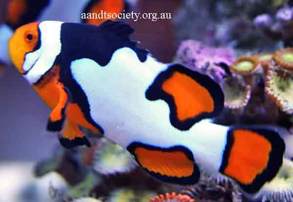 Clownfish breeds and history. Ocelaris-2-_zps6f22ee97