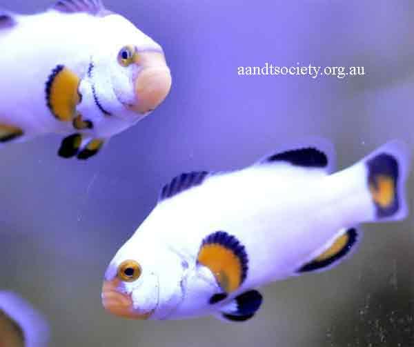 Clownfish breeds and history. Ocelaris-5-_zps7e296cdc
