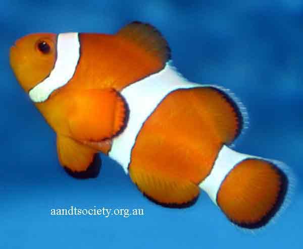Clownfish breeds and history. Ocellaris-1-_zps8d8eeca7