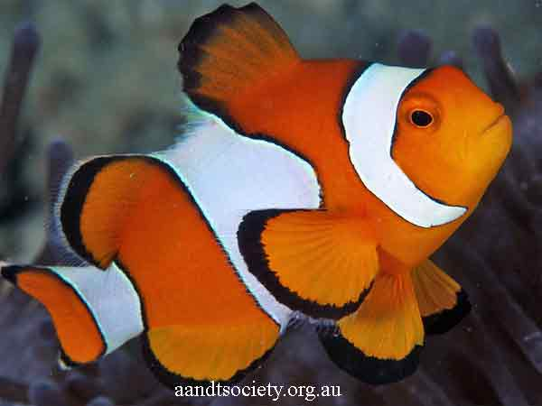Clownfish breeds and history. Perc-1-_zpsc44a2ba0