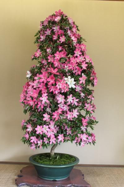 Vireya Rhododendron 20110524230524985
