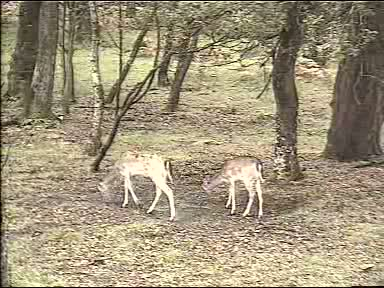 Fallow Deer Cam from New Forest (Lyndhurst, UK) Warning!!! You will see animal corpses here! 091006123500-02-14923
