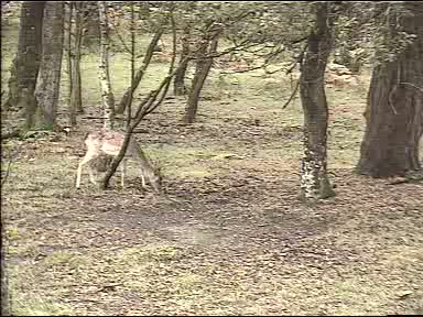 Fallow Deer Cam from New Forest (Lyndhurst, UK) Warning!!! You will see animal corpses here! 091006123500-02-27842