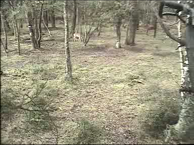 Fallow Deer Cam from New Forest (Lyndhurst, UK) Warning!!! You will see animal corpses here! 091008083500-00-08759