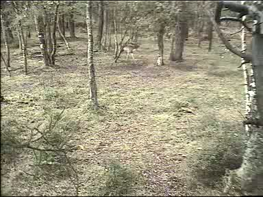Fallow Deer Cam from New Forest (Lyndhurst, UK) Warning!!! You will see animal corpses here! 091008083500-04-00004