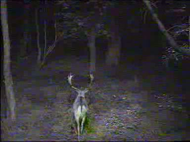 Fallow Deer Cam from New Forest (Lyndhurst, UK) Warning!!! You will see animal corpses here! - Page 2 091011072500-03-27683