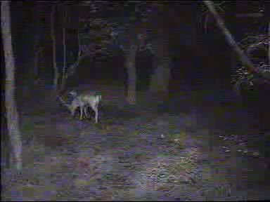Fallow Deer Cam from New Forest (Lyndhurst, UK) Warning!!! You will see animal corpses here! - Page 2 091011072500-03-37764