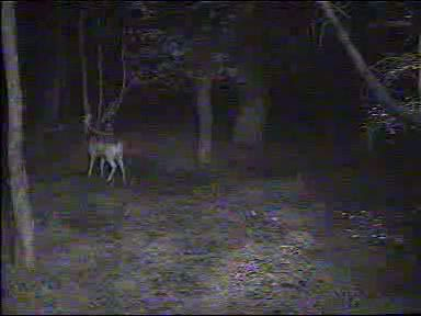 Fallow Deer Cam from New Forest (Lyndhurst, UK) Warning!!! You will see animal corpses here! - Page 2 091011072500-03-48004