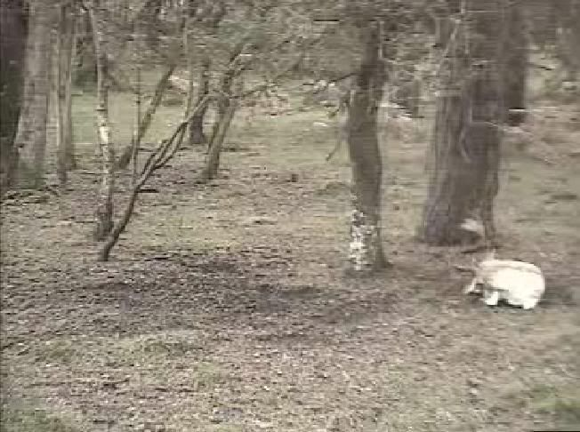Fallow Deer Cam from New Forest (Lyndhurst, UK) Warning!!! You will see animal corpses here! - Page 2 Snap429