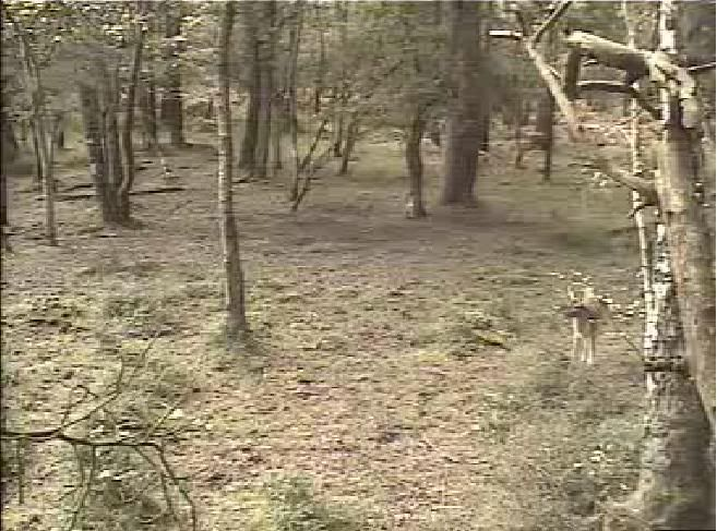 Fallow Deer Cam from New Forest (Lyndhurst, UK) Warning!!! You will see animal corpses here! - Page 2 Snap452