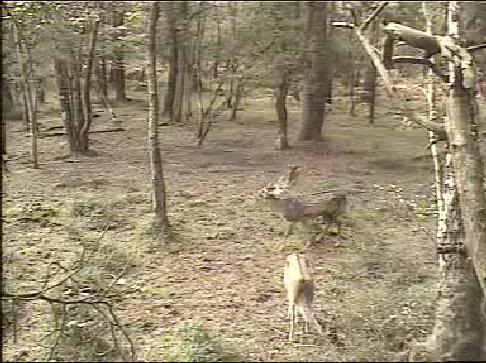 Fallow Deer Cam from New Forest (Lyndhurst, UK) Warning!!! You will see animal corpses here! - Page 2 Snap456
