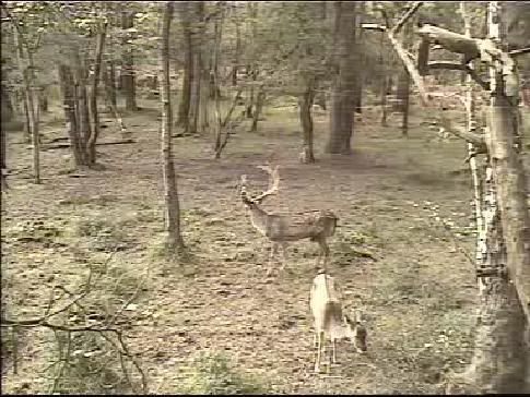 Fallow Deer Cam from New Forest (Lyndhurst, UK) Warning!!! You will see animal corpses here! - Page 2 Snap457