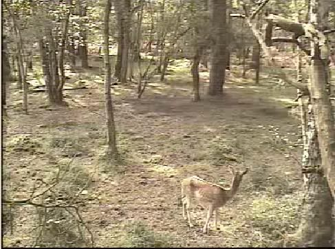 Fallow Deer Cam from New Forest (Lyndhurst, UK) Warning!!! You will see animal corpses here! - Page 2 Snap458