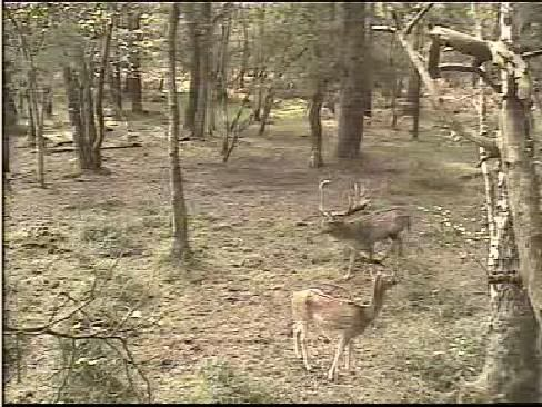 Fallow Deer Cam from New Forest (Lyndhurst, UK) Warning!!! You will see animal corpses here! - Page 2 Snap459