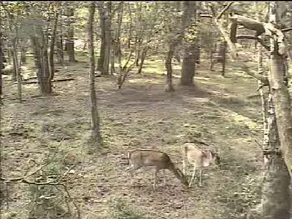 Fallow Deer Cam from New Forest (Lyndhurst, UK) Warning!!! You will see animal corpses here! - Page 2 Snap462