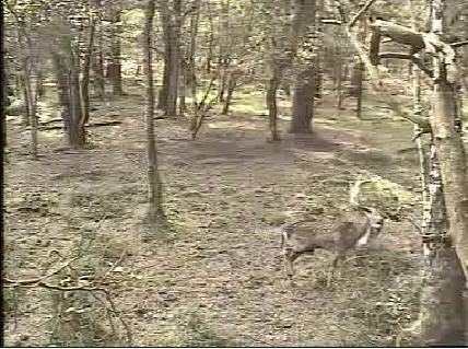 Fallow Deer Cam from New Forest (Lyndhurst, UK) Warning!!! You will see animal corpses here! - Page 2 Snap463