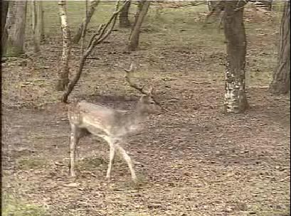 Fallow Deer Cam from New Forest (Lyndhurst, UK) Warning!!! You will see animal corpses here! - Page 2 Snap466