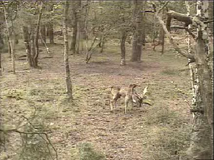 Fallow Deer Cam from New Forest (Lyndhurst, UK) Warning!!! You will see animal corpses here! - Page 2 Snap469