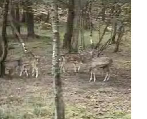 Fallow Deer Cam from New Forest (Lyndhurst, UK) Warning!!! You will see animal corpses here! - Page 2 Buck20and20