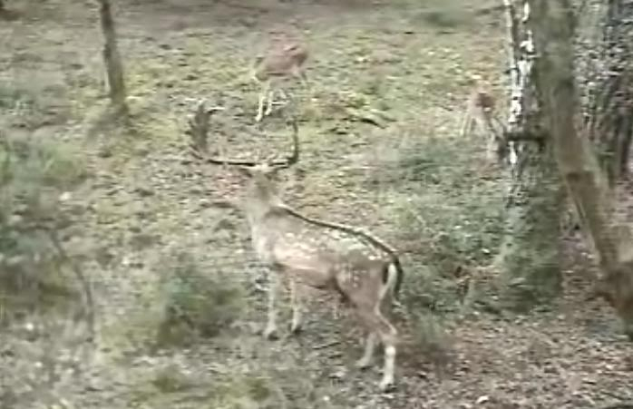 Fallow Deer Cam from New Forest (Lyndhurst, UK) Warning!!! You will see animal corpses here! - Page 2 Buckand2ladies