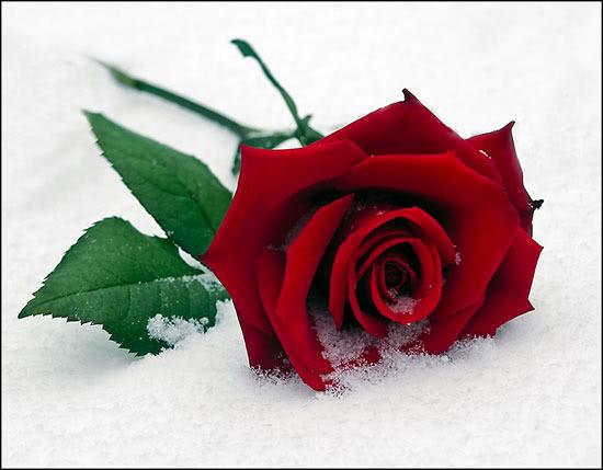 love rose flower K3xg7c