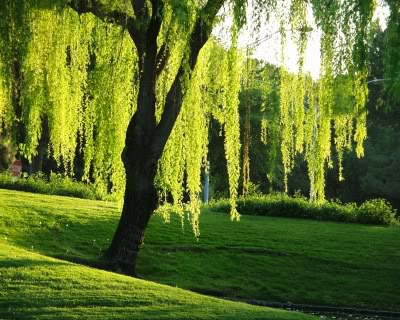 The Willow Tree Tree