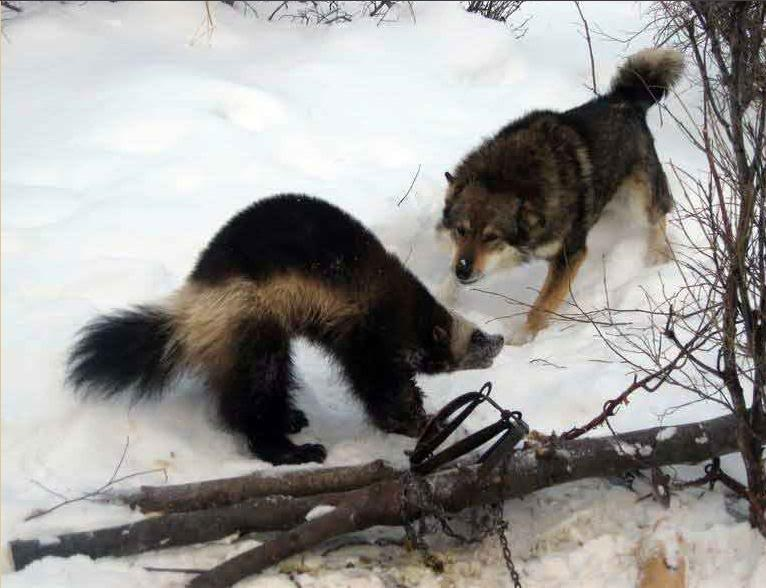 Carcaju VS Pantera Nebulosa Wolverineandwolfhybrid
