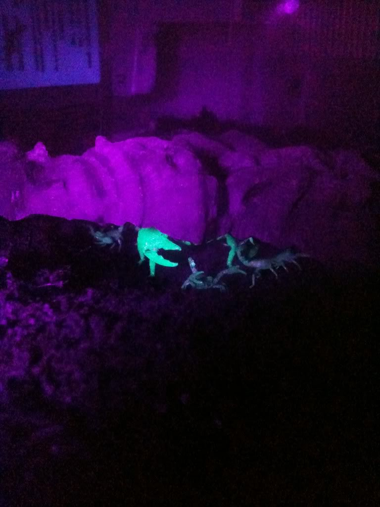 [Case Study] Emperor Scorpion given birth Tedpregnant003-2