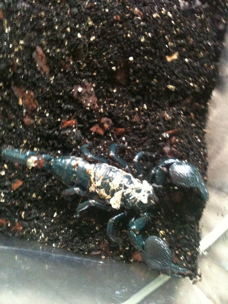 [Case Study] Emperor Scorpion given birth Tedpregnant008-2