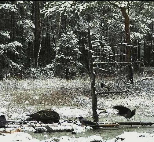 EAGLE WINTER FEEDING GROUND CAMERAS Snap504
