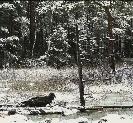 EAGLE WINTER FEEDING GROUND CAMERAS Snap505