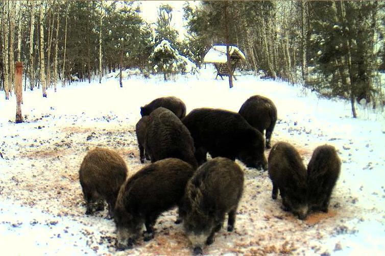 Boars cam, winter 2012 - 2013 - Page 5 Snap552-1_zpsadb9acc2