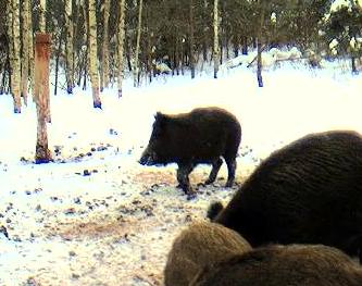 Boars cam, winter 2012 - 2013 - Page 5 Snap553-1_zps3b6b8434