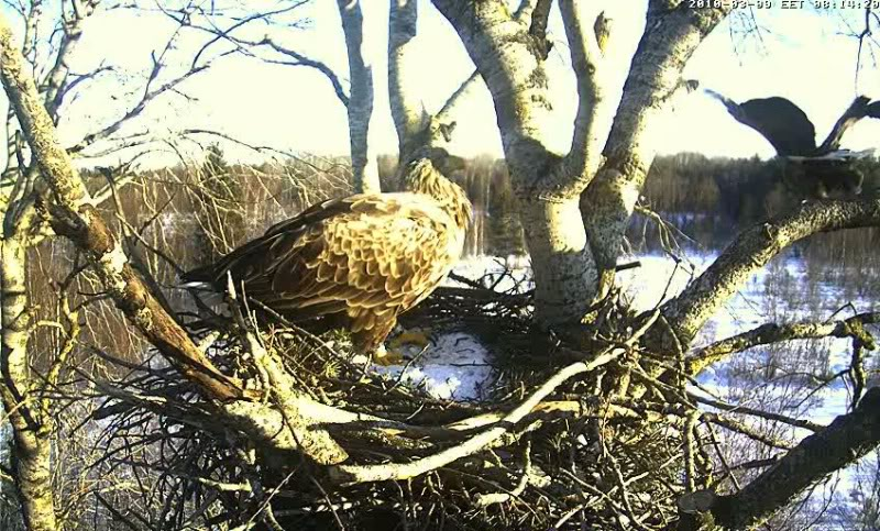 White-tailed Eagle Camera Lovers - Page 3 Untitled088