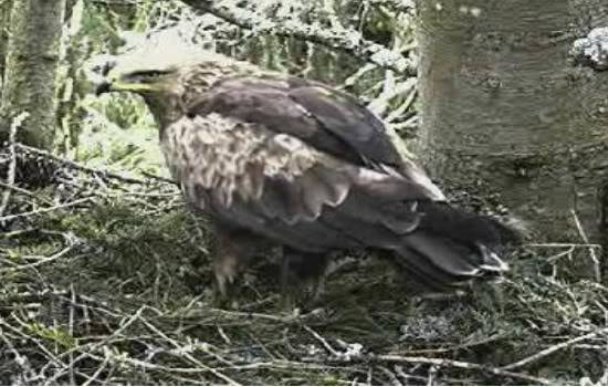 Lesser Spotted Eagle Camera Lovers / NEW: another cam in Latvia !! Land03