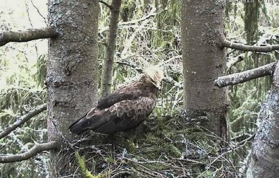 Lesser Spotted Eagle Camera Lovers / NEW: another cam in Latvia !! Land04