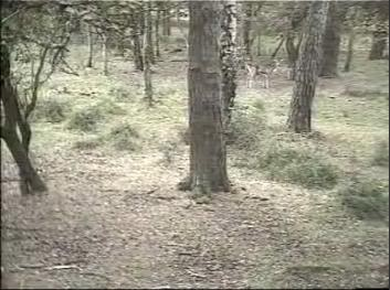 Fallow Deer Cam from New Forest (Lyndhurst, UK) Warning!!! You will see animal corpses here! Snap337