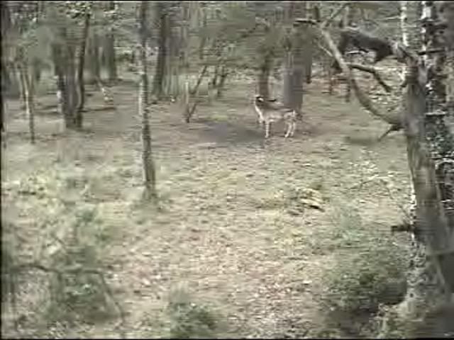 Fallow Deer Cam from New Forest (Lyndhurst, UK) Warning!!! You will see animal corpses here! Snapshot01-1