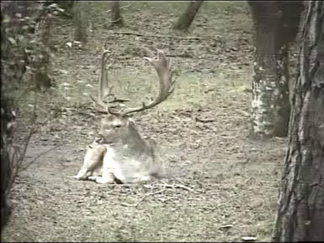 Fallow Deer Cam from New Forest (Lyndhurst, UK) Warning!!! You will see animal corpses here! Snapshot02
