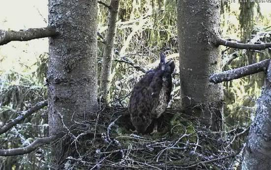 Lesser Spotted Eagle Camera Lovers / NEW: another cam in Latvia !! Snap190
