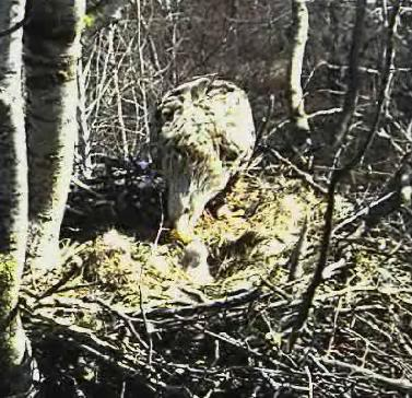 White-tailed Eagle Camera Lovers Snap193