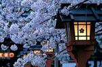 Sakura no tenshi