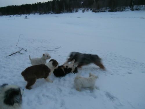 Мои собаки: Зена и Шива и их друзья весты - Страница 2 Db6fa1a1075c90d3e10bd923d151bd4c