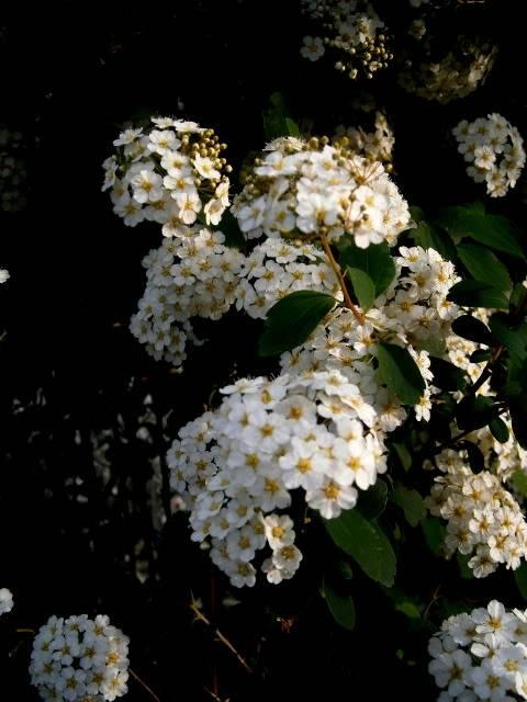 Flores de Abril P4130006