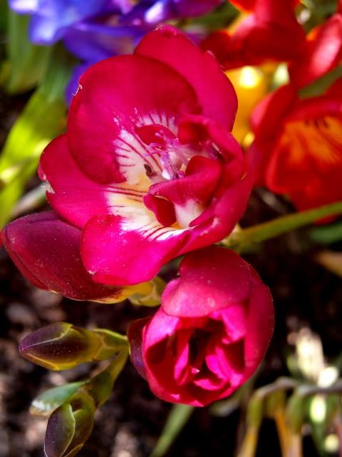 Bulbosas P3160009
