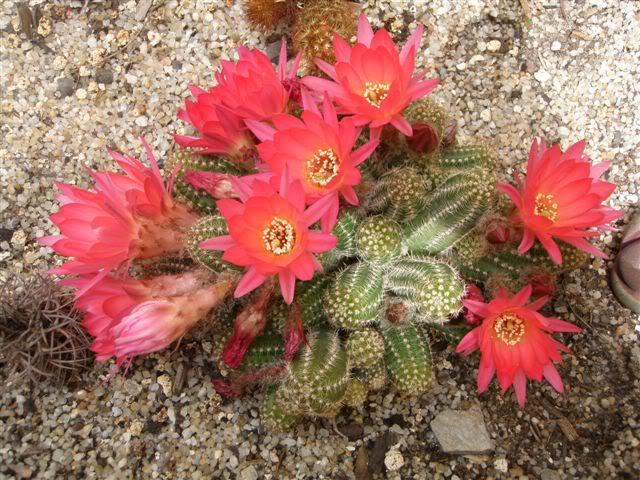 Cactus. P5120024