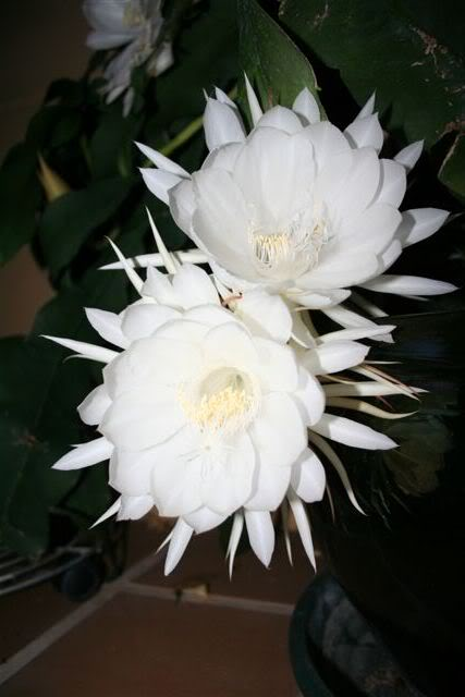 Cactus. IMG_3647