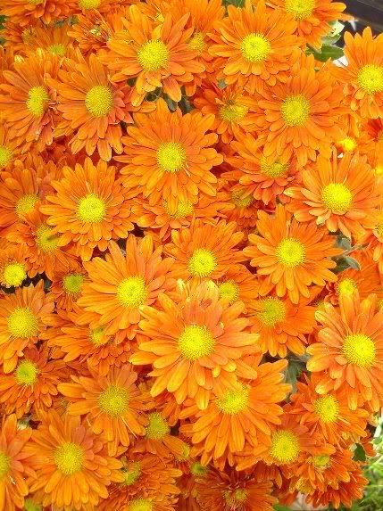 BUSQUEMOS HERMOSAS FLORES - Página 38 Crisantemos_03