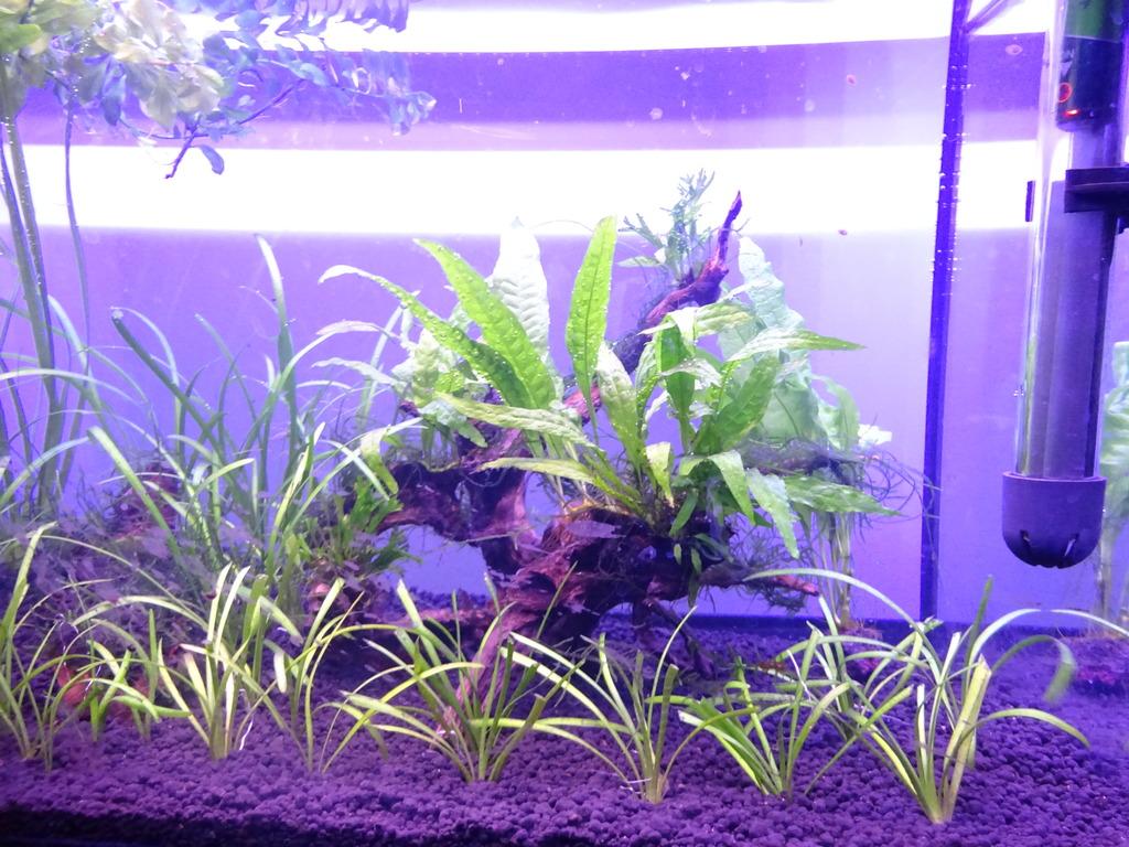 Wild Shrimp Aqua DSC03102_zpsvflpnkh1