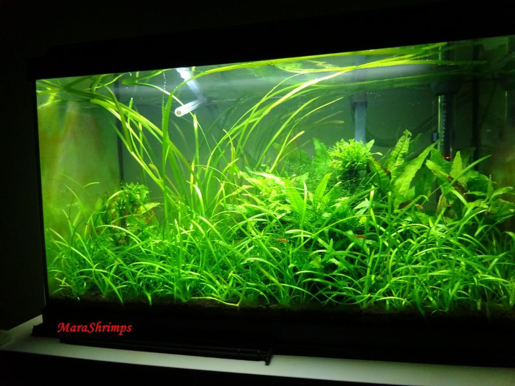 Wild Shrimp Aqua Foto7_zps628d409b